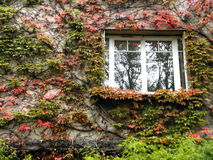 Κισσός με τα κόκκινα και πράσινα φύλλα σε έναν τοίχο με ένα παράθυρο Στοκ Εικόνες