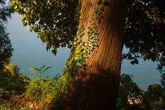Κισσός σε ένα δέντρο κάτω από τον ήλιο Στοκ Φωτογραφία