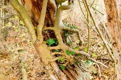Κισσός στο νεκρό δέντρο στοκ εικόνα