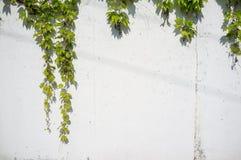 Κισσός της Βοστώνης στον άσπρο συμπαγή τοίχο στοκ εικόνα