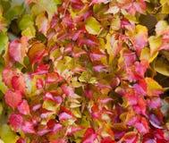 Κισσός της Βοστώνης - σύνολο tricuspidata Parthenocissus του χρώματος το φθινόπωρο Στοκ φωτογραφία με δικαίωμα ελεύθερης χρήσης