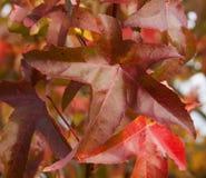 Κισσός της Βοστώνης - σύνολο tricuspidata Parthenocissus του χρώματος το φθινόπωρο Στοκ Εικόνες