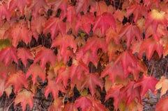 Κισσός της Βοστώνης (tricuspidata Parthenocissus) Στοκ Εικόνες
