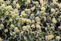 Κισσός & x28 Hedera helix& x29  λουλούδια στο φράκτη Στοκ εικόνα με δικαίωμα ελεύθερης χρήσης