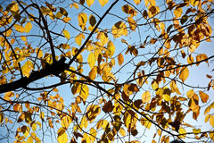 Κιτρίνισμα των φύλλων δέντρων στο υπόβαθρο του μπλε ουρανού και των κλάδων στη σκιαγραφία Στοκ Φωτογραφίες