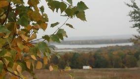 Κιτρινίζοντας φύλλα της σημύδας απόθεμα βίντεο