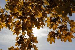 Κιτρινισμένα δέντρα σφενδάμνου το φθινόπωρο Στοκ Εικόνες