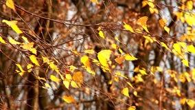 Κιτρινισμένα φύλλα σημύδων που ταλαντεύονται στον αέρα φιλμ μικρού μήκους