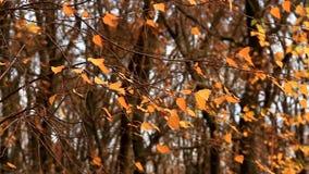 Κιτρινισμένα φύλλα σημύδων που ταλαντεύονται στον αέρα απόθεμα βίντεο