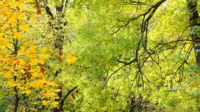 Κιτρινισμένα φύλλα στα δέντρα Στοκ Εικόνα