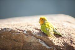 Κιτρινοπράσινος λίγο lovebird Στοκ Φωτογραφίες