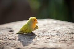 Κιτρινοπράσινος λίγο lovebird Στοκ φωτογραφία με δικαίωμα ελεύθερης χρήσης