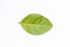 Κιτρινοπράσινο φύλλο που απομονώνεται στο άσπρο υπόβαθρο Στοκ εικόνα με δικαίωμα ελεύθερης χρήσης