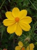 Κιτρινωπό λουλούδι Στοκ εικόνα με δικαίωμα ελεύθερης χρήσης