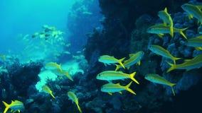 Κιτρινόπτερος goatfish απόθεμα βίντεο