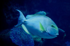 Κιτρινόπτερος surgeonfish Στοκ φωτογραφία με δικαίωμα ελεύθερης χρήσης