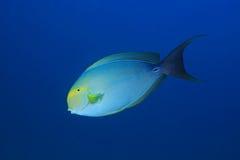 Κιτρινόπτερος surgeonfish Στοκ εικόνες με δικαίωμα ελεύθερης χρήσης