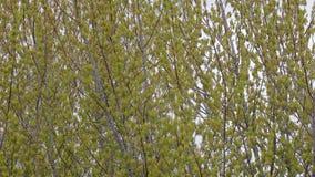 Κλάδοι δέντρων άνοιξη φιλμ μικρού μήκους