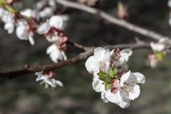 Κλάδοι δέντρων με τα ανθίζοντας λουλούδια Έννοια ανθών άνοιξη Στοκ φωτογραφία με δικαίωμα ελεύθερης χρήσης