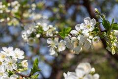 Κλάδοι δέντρων με τα ανθίζοντας λουλούδια ενάντια στο σαφή μπλε ουρανό Έννοια ανθών άνοιξη Στοκ Εικόνες