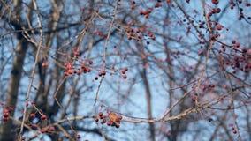 Κλάδοι δέντρων με τη μικρή καφετιά ταλάντευση μήλων καβουριών στον αέρα απόθεμα βίντεο