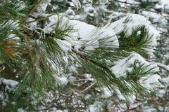 Κλάδοι δέντρων πεύκων Στοκ Φωτογραφία
