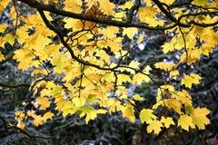 Κλάδοι δέντρων που καλύπτονται από έναν παχύ θάμνο των φύλλων με τα έντονα χρώματα φθινοπώρου Στοκ Φωτογραφία
