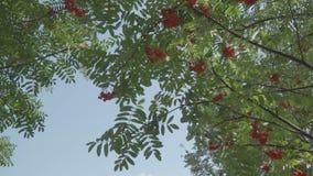 Κλάδοι δέντρων σορβιών φθινοπώρου στον αέρα απόθεμα βίντεο