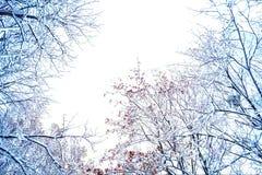Κλάδοι δέντρων στο χιόνι σε ένα άσπρο υπόβαθρο στοκ εικόνες με δικαίωμα ελεύθερης χρήσης