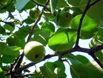 Κλάδοι δέντρων της Apple με τα φρούτα και τα πράσινα φύλλα, καλοκαίρι Στοκ φωτογραφίες με δικαίωμα ελεύθερης χρήσης