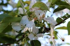 Κλάδοι δέντρων της Apple στον ήλιο και τη σκιά, που καλύπτονται με τα άνθη Στοκ Εικόνες