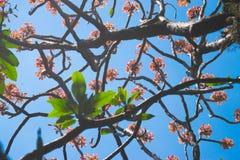 Κλάδοι δέντρων της Jasmin με τα λουλούδια Στοκ Εικόνες