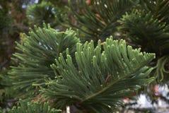 Κλάδοι δέντρων heterophylla αροκαριών στοκ εικόνες με δικαίωμα ελεύθερης χρήσης