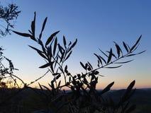 Κλάδοι ελιών στο σούρουπο στην Πορτογαλία στοκ εικόνες