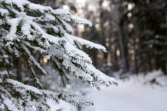 Κλάδοι ενός αειθαλούς κωνοφόρου δέντρου, πολλές μικρές βελόνες, στοκ εικόνα