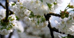 Κλάδοι με τα άνθη κερασιών Στοκ Εικόνες