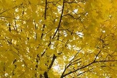 Κλάδοι με τα κίτρινα και πράσινα φύλλα ενάντια στον ουρανό, άποψη από κάτω από προς τα πάνω, φθινόπωρο, κίτρινη από κάτω προς τα  Στοκ Εικόνες