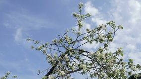 Κλάδοι με τα λουλούδια των δέντρων της Apple που ταλαντεύονται στον αέρα ενάντια στον ουρανό και τα σύννεφα απόθεμα βίντεο
