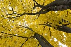 Κλάδοι με τα πράσινα κίτρινα φύλλα στο κλίμα ουρανού, άποψη από κάτω από προς τα πάνω, καλοκαίρι, πράσινη ηλιόλουστη ημέρα δέντρω Στοκ Φωτογραφίες