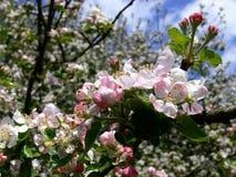 Κλάδοι με τα όμορφα άνθη μήλων Στοκ φωτογραφία με δικαίωμα ελεύθερης χρήσης