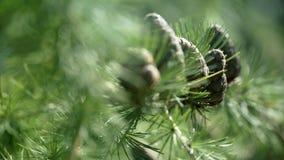 Κλάδοι με τους κώνους και βελόνες στο δέντρο αγριόπευκων στους δασικούς καφετιούς κώνους του αγριόπευκου απόθεμα βίντεο