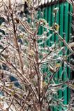 Κλάδοι με τους πράσινους οφθαλμούς δέντρων στοκ εικόνα με δικαίωμα ελεύθερης χρήσης
