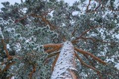 Κλάδοι πεύκων κατά την άποψη χιονιού από κάτω από στοκ εικόνες με δικαίωμα ελεύθερης χρήσης