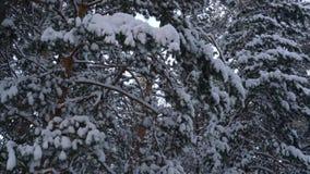 Κλάδοι πεύκων που καλύπτονται με το χιόνι απόθεμα βίντεο