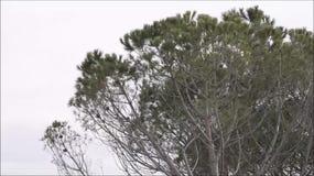 Κλάδοι πεύκων που κινούνται από τον αέρα απόθεμα βίντεο