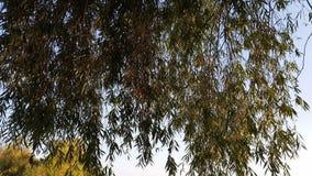 Κλάδοι της ιτιάς σε ένα υπόβαθρο μπλε ουρανού Το φως του ήλιου κερδίζει στα φύλλα ιτιών αερακιού φιλμ μικρού μήκους