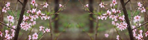Κλάδοι του δέντρου ροδακινιών με τα ρόδινους λουλούδια και τους οφθαλμούς Στοκ εικόνες με δικαίωμα ελεύθερης χρήσης