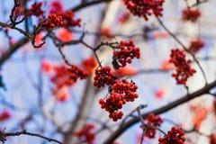 Κλάδοι του δέντρου σορβιών με τα κόκκινα ώριμα μούρα Στοκ Φωτογραφία