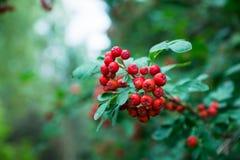 Κλάδοι του δέντρου σορβιών με τα κόκκινα ώριμα μούρα Στοκ φωτογραφία με δικαίωμα ελεύθερης χρήσης