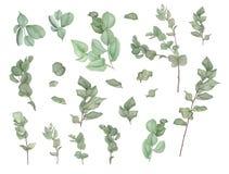 Κλάδοι του ευκαλύπτου, ζωγραφική watercolor διανυσματική απεικόνιση